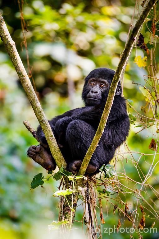 IMAGE: http://www.holzphoto.com/wp-content/uploads/2015/05/gorilla2.jpg